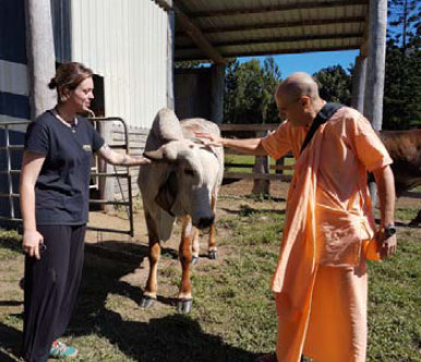 Bir Krsna Goswami meets the bullocks.