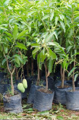 Young mango saplings