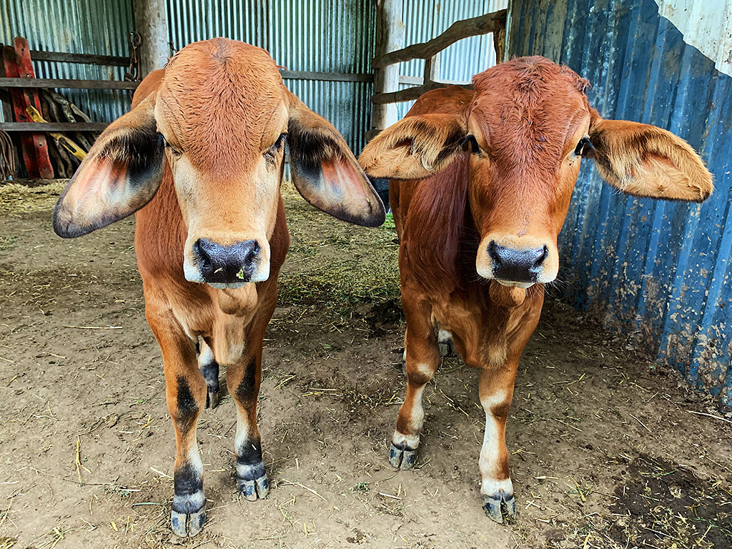 Hali (left) and Balai, two of the rescued bullocks, make a delightful pair.