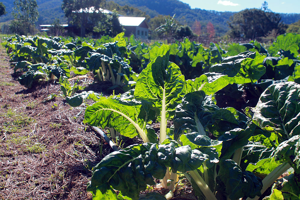 The temple vegetable garden sporting some fresh silverbeet.